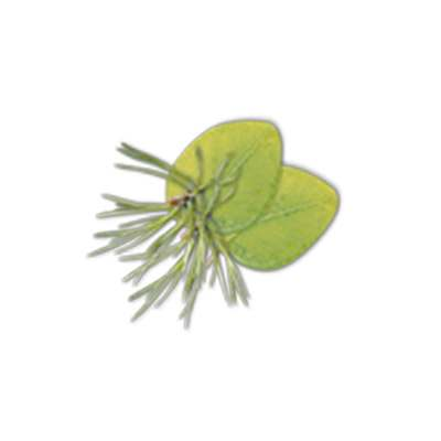 Eucalyptus/Pin